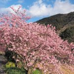 河津桜の見ごろと開花予想