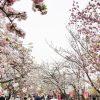 造幣局 桜の通り抜けの見ごろ