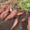 芋ほりを大阪で体験できる農園一覧
