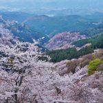 吉野桜の見ごろはいつ?開花予想とアクセスを紹介